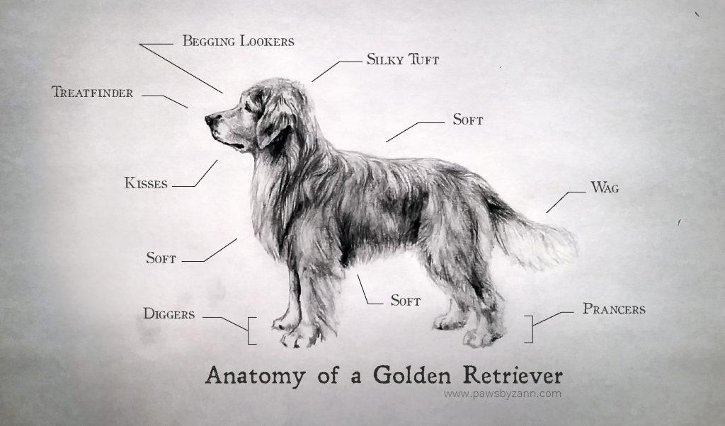 Correct Anatomy of a Golden Retriever