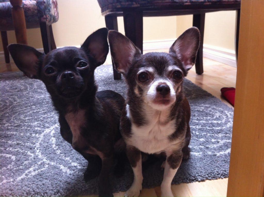 Chihuahua art reference photo